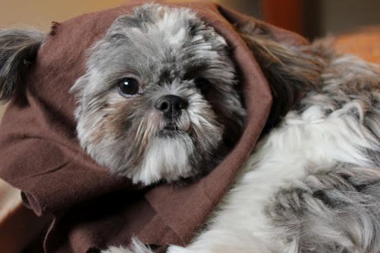 Dog Breed That Looks Like Chewbacca